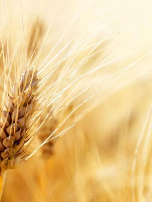 Advantages of Durum Wheat Cultivation