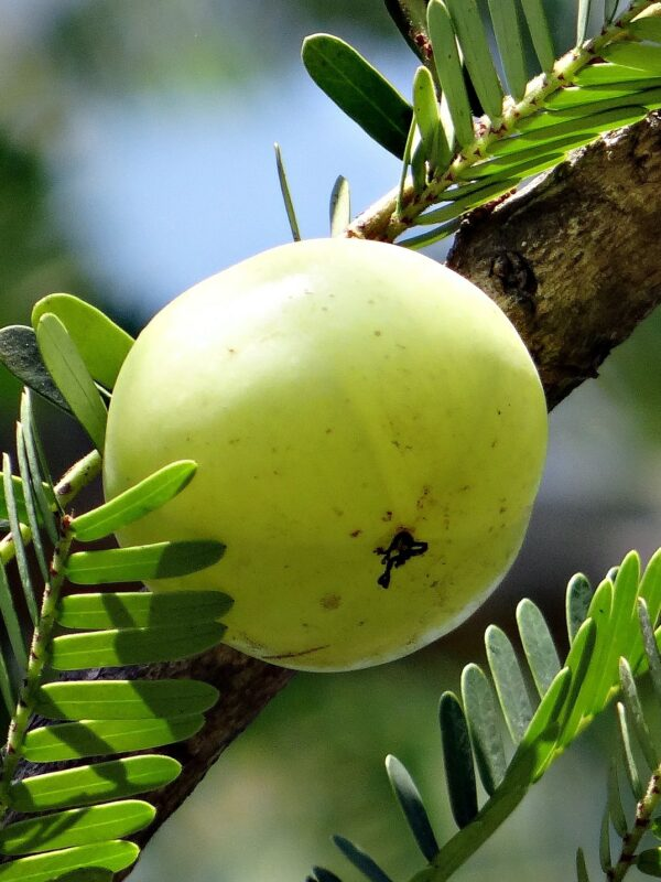 Aonla or Indian Gooseberry: New Value Added Products